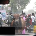 Cows in India &#8211; It&#8217;s good to be sacred
